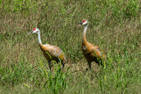Sandhill Cranes of Oakland Township